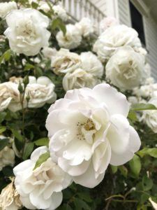 Fragrant roses within the six-acre garden property
